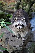 Cute raccoon on stone