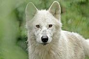 White Tundra Wolf