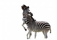 Zebra SA Kruger Park