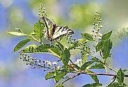 Swallowtail Butterfly on a Chokecherry Tree