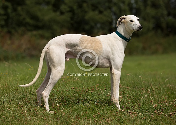 Lemon and White Greyhound