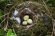 Eggs in a birds nest