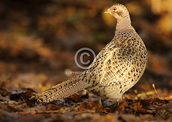 Common Pheasant (Female)