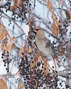 Bohemian Waxwing in a Chokecherry Tree