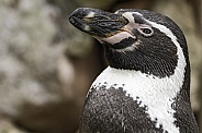 Humboldt Penguin Side Profile Close Up