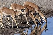Impala (Aepyceros melampus melampus)