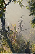 gibbon in the mist