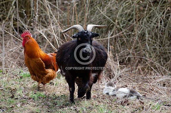 Rhode Island Red Rooster, Pygmy Goat, Gray and White Cat
