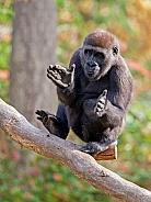 Clapping gorilla