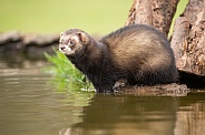 Male European Polecat