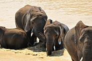 African Elephants bathing