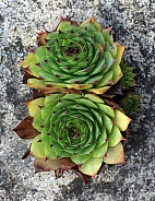 Houseleek Succulent