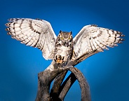 Great Horned Owl with Wings and Talons