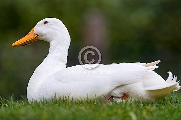Pekin Duck (domestic)