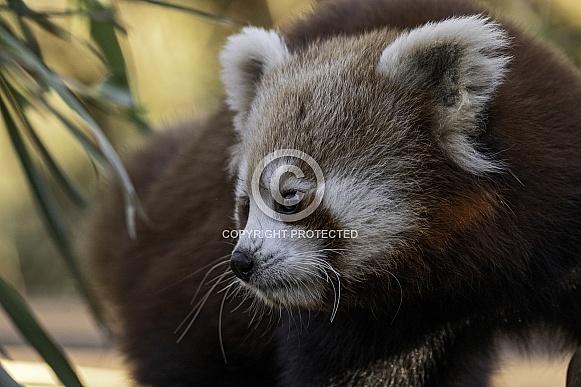 Red Panda Side Profile Close Up
