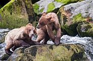 Two young grizzly cubs