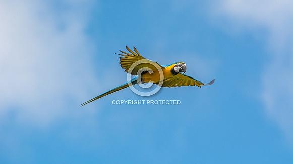 Flying Ara