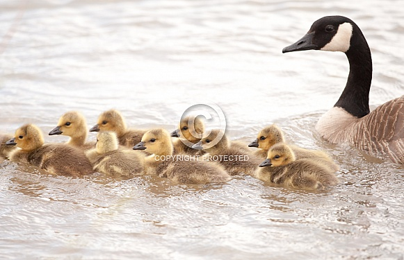 Canada goose with her chicks