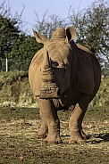 White Rhino fully body, facing forward