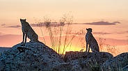 Cheetah's in the Sunset