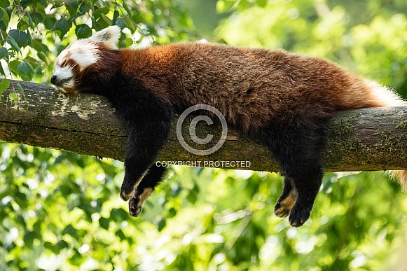 Red Panda Asleep Over A Branch