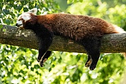Red Panda Asleep Over A Branch