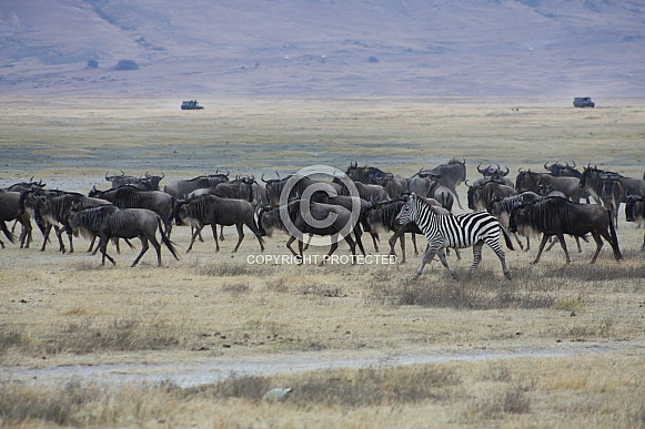 wildebeest and zebra