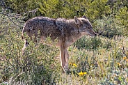 Coyote in the Spring
