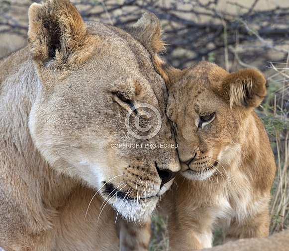 Lioness with her cub - Botswana