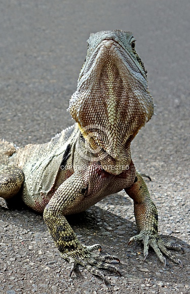 Eastern Bearded Dragon Lizard