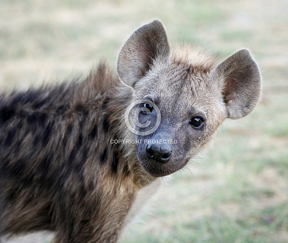 Spotted Hyena Cub