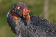 Juvenile King Vulture Close Up