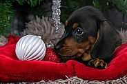 Black and Tan Dachshund Puppy Close Up