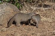 Two Banded Mongoose (Mungos mungo)