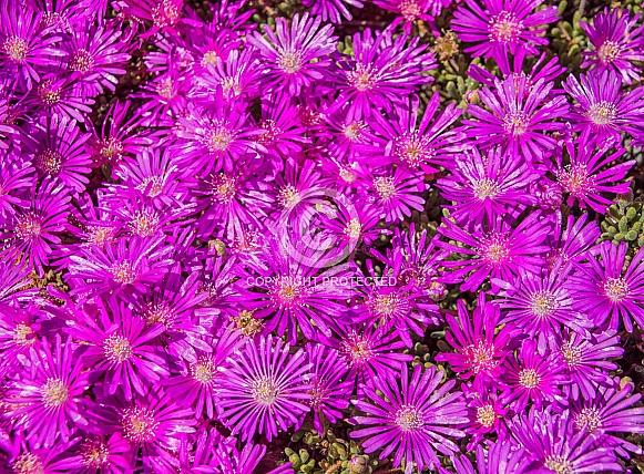 Lampranthus vernalis