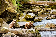 Wild Alaskan brown bear cubs