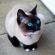 Snow shoe cat