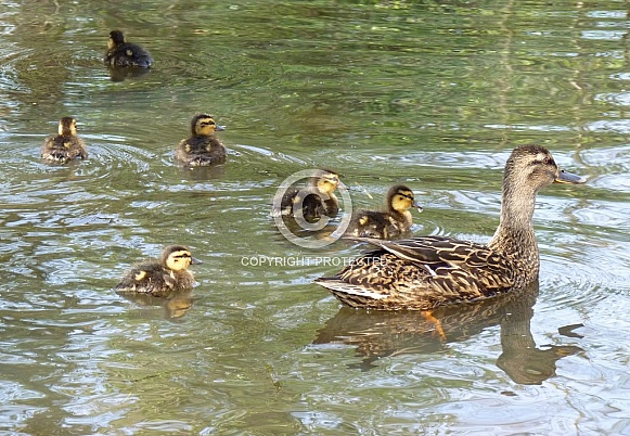 Mallard Duck & Ducklings