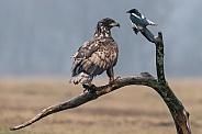European Eagle and a magpie
