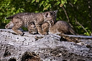 Bobcat Kittens at Play