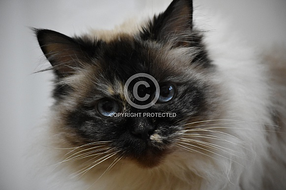 Seal Tortie Point Ragdoll