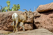 Bighorn Sheep - Ewe and Lamb