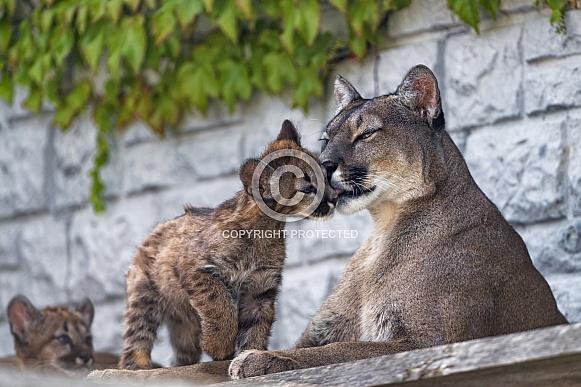 Cougar and Cub