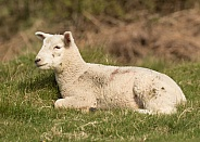 Young Lamb Lying Down