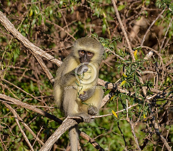 Vervet Monkey eating