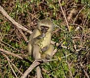Vervet Monkey eating