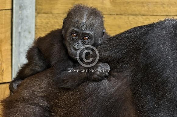 Western Lowland Gorilla Baby