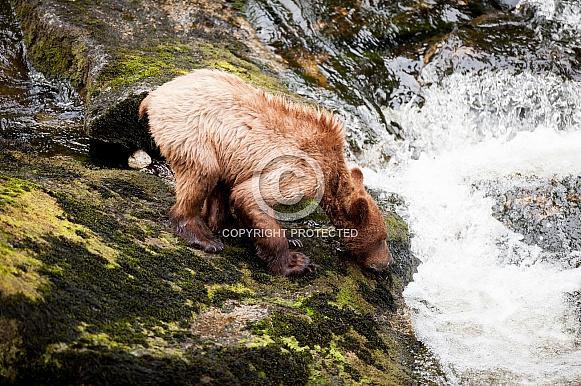 Grizzly bear cub in Alaska