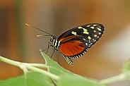 Harmonia Tiger-wing