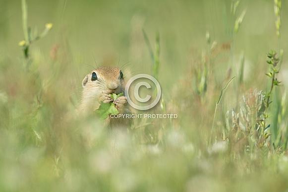 Ground Squirrel (Spermophilus)
